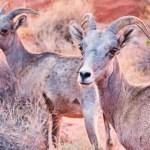 Valley of Fire Desert Bighorn Sheep – Las Vegas Tourist Attraction