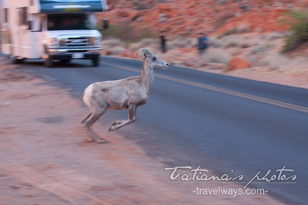 Desert bighorn sheep crossing the road in the Valley of Fire