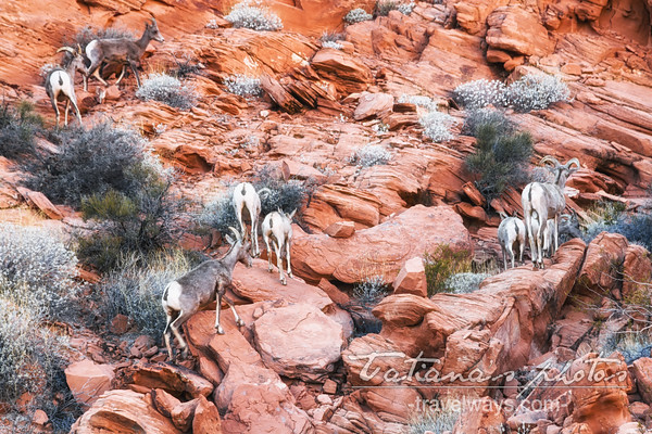 Bighorn sheep high on the rocky hill in the Valley of Fire