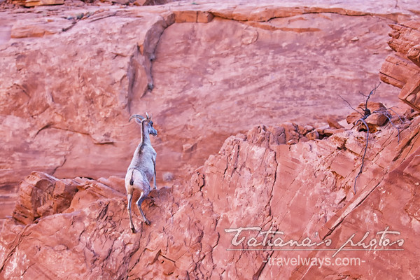 Desert bighorn sheep running up the rocks in the Valley of Fire