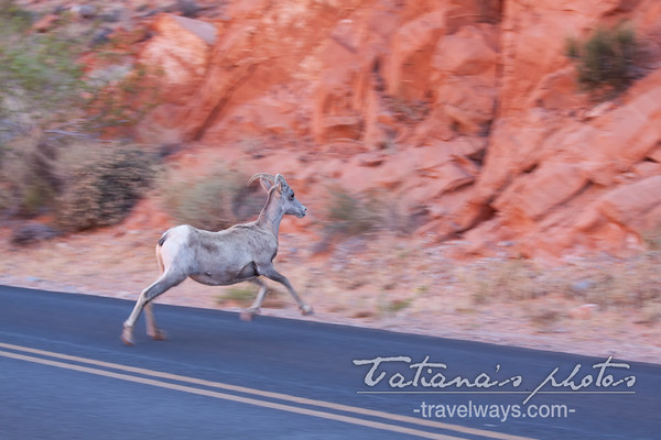 Desert bighorn sheep crossing the road on the Valley of Fire