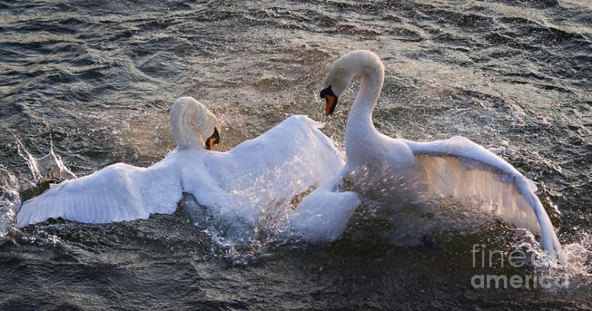 Swans nuptial ritual on Rhine River, Germany
