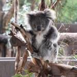 Kangaroos, Koalas and Devils Oh My