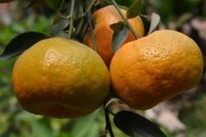 Orange Villages in North Bengal