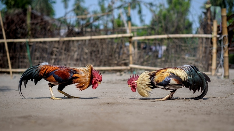 Cock-Fight.jpg