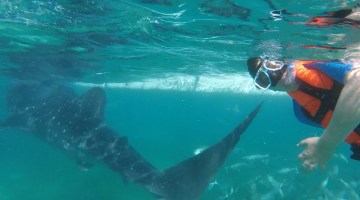 Swimming with Whale Sharks in Oslob, Philippines