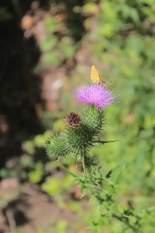 Scai fluture close-up