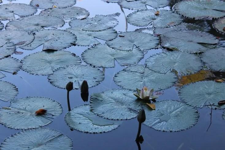 Lacul cu nuferi din Băile Felix.Bihor