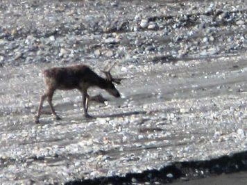Lone caribou