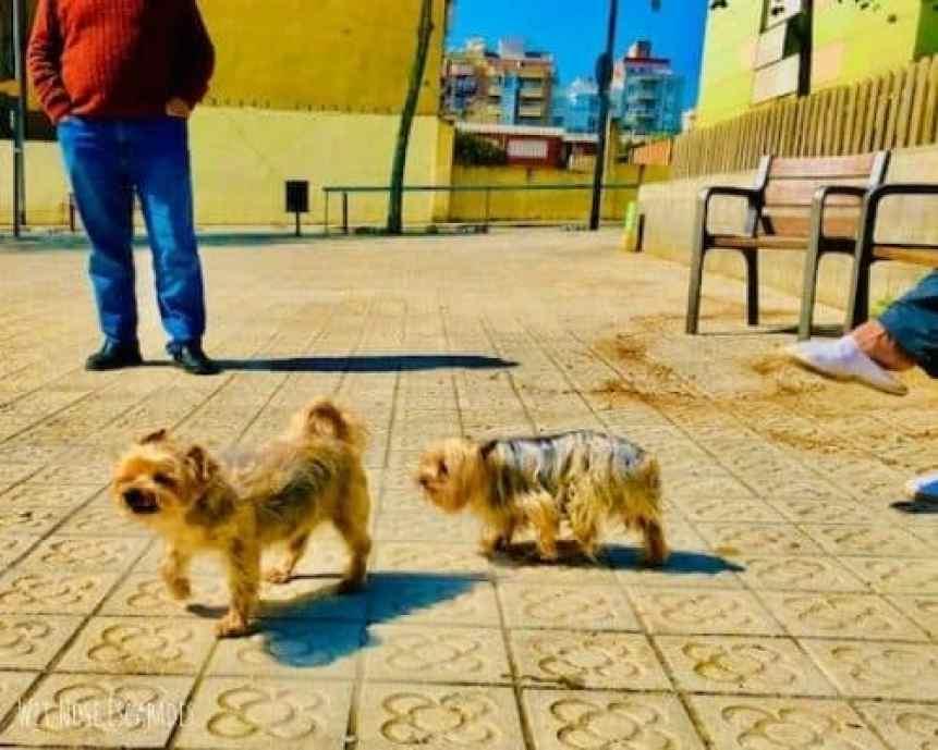 terrier dog in barcelona