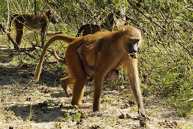 Female baboon with young