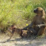 The Baboons of Makasutu Forest