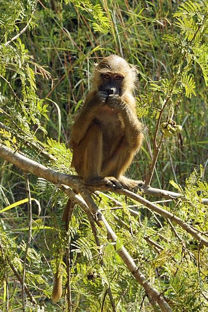 Young Guinea Baboon