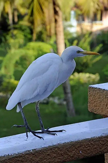 A Cattle Egret checking out what's for breakfast at The Kairaba Beach Hotel