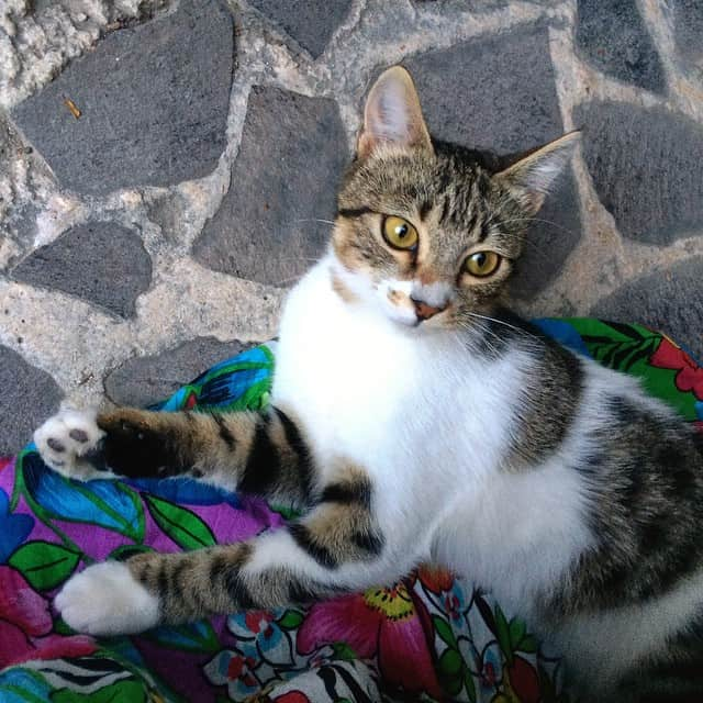 Things to do on Santorini, Cats in Greece