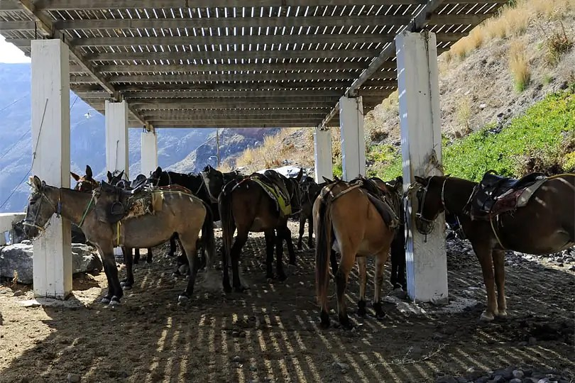 Corfos donkeys, Therasia, Santorini, Greece