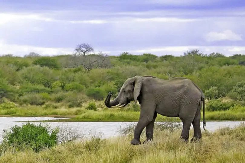 South African elelphant