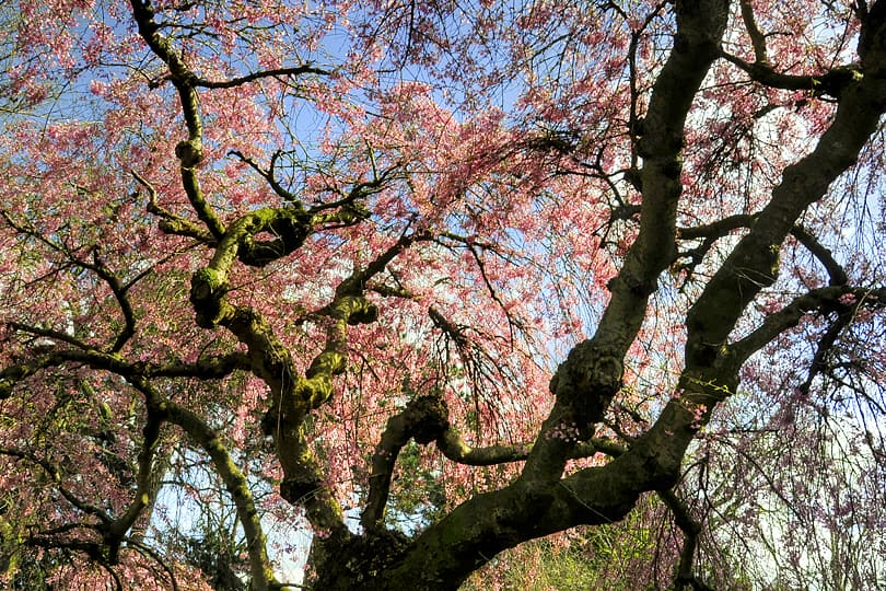 Spring blossoms at Kew Gardens