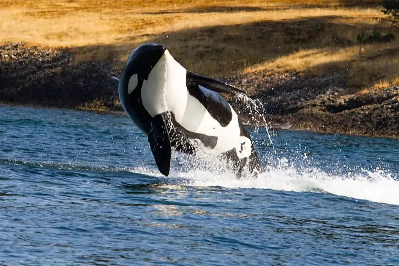 orca off the west coast of Canada