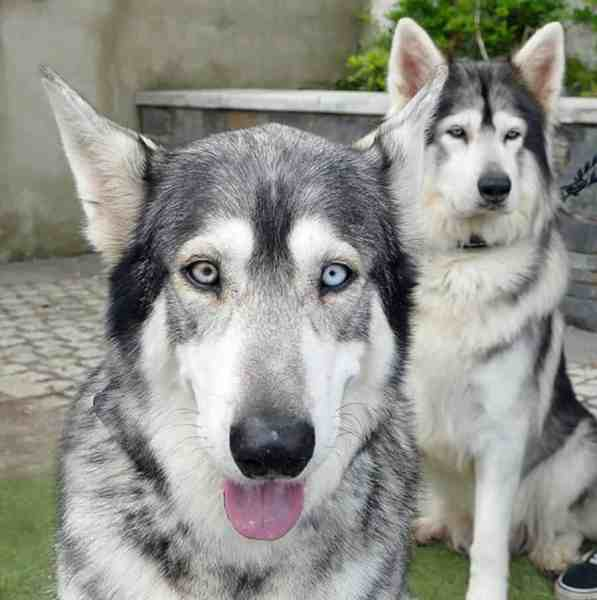 Game of Thrones direwolves | Odin and Thor played Summer and Grey Wind as pups