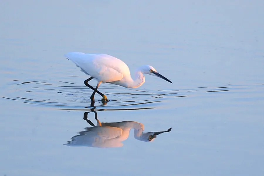 Little Egret, Pagham Harbour