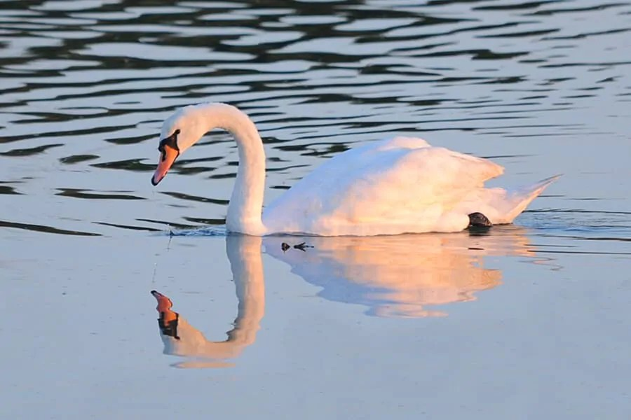 Mute Swan, Pagham Harbour