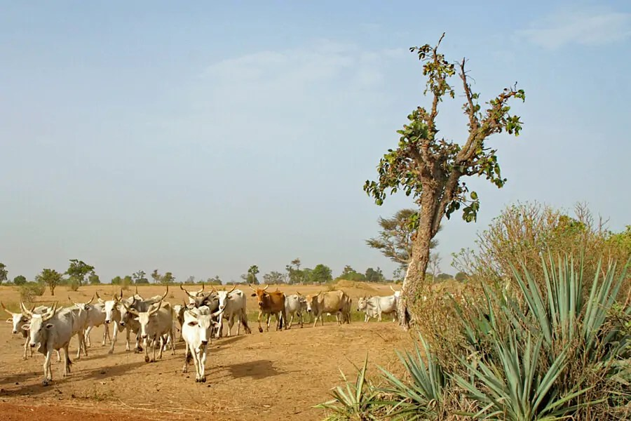 Cattle by the roadside in Senegal