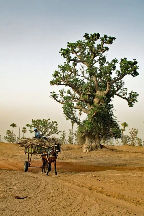 Horse and cart passing a giant baobab tree in Senegal