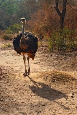Ostrich in Senegal