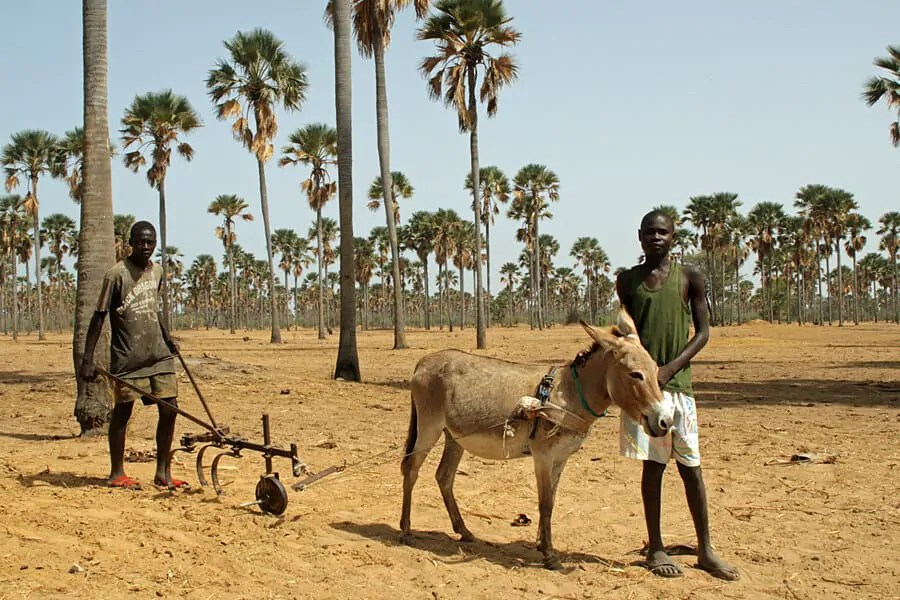 Senegalese boys with a traditional plough in a forest of palm trees