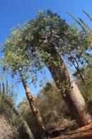 rasta baobab