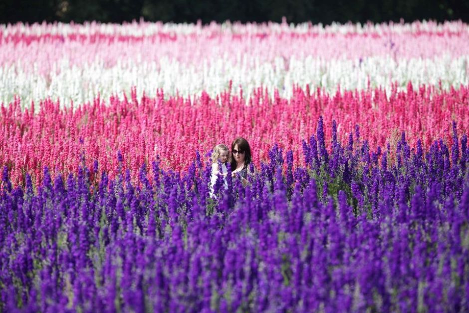 One of the most beautiful flower fields of the United Kingdom is a wildflower that flourishes in hedgerows and gardens.  However, Britain's spring flower, the Bluebell, is most at home in ancient woodlands, where the land has lain undisturbed for centuries.  Bluebell woods are famous for looking like a blue carpet in the woodland Bluebells are a northern hemisphere spring flower, peaking between late March to mid-May and while most bluebells are blue, you may be lucky enough to spot the rare albino bluebells, which are white. There are many places to see bluebells in the UK – ancient woodlands with some managed by the Woodlands Trust, others by National Trust are your best places.  Access to bluebell woods is usually free.  Do be careful and stick to marked paths, bluebells are extremely fragile and it is an offense to steal bluebells from the woodland. Contributed by Sarah Carter, from ASocialNomad