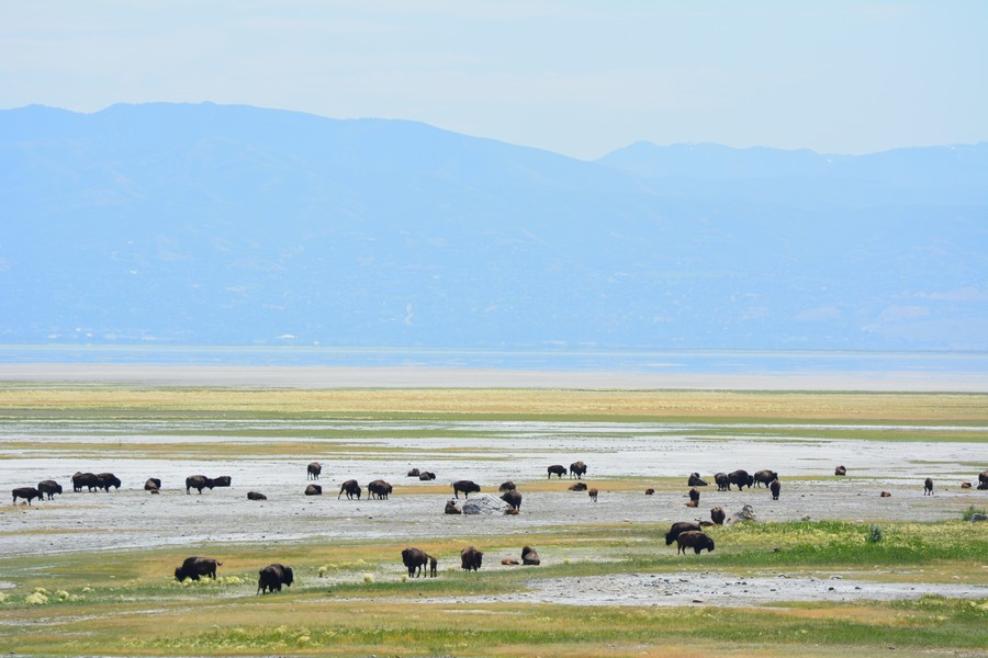 Bisons à Antelope Island Great Salt Lake
