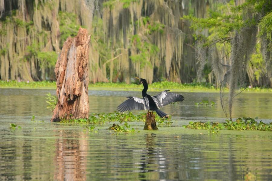 Oiseau Bayou Louisiane