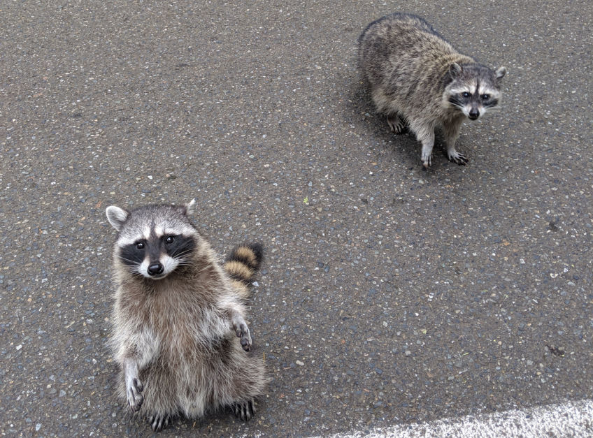 point defiance raccoons