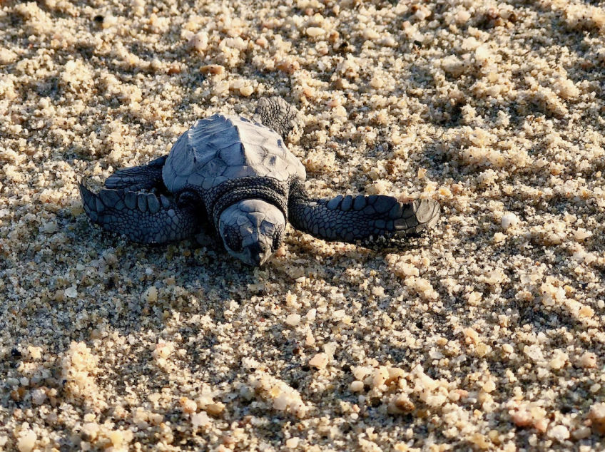 olive ridley sea turtle baby