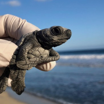 Baby Sea Turtle Release Tour with Cabo Outfitters