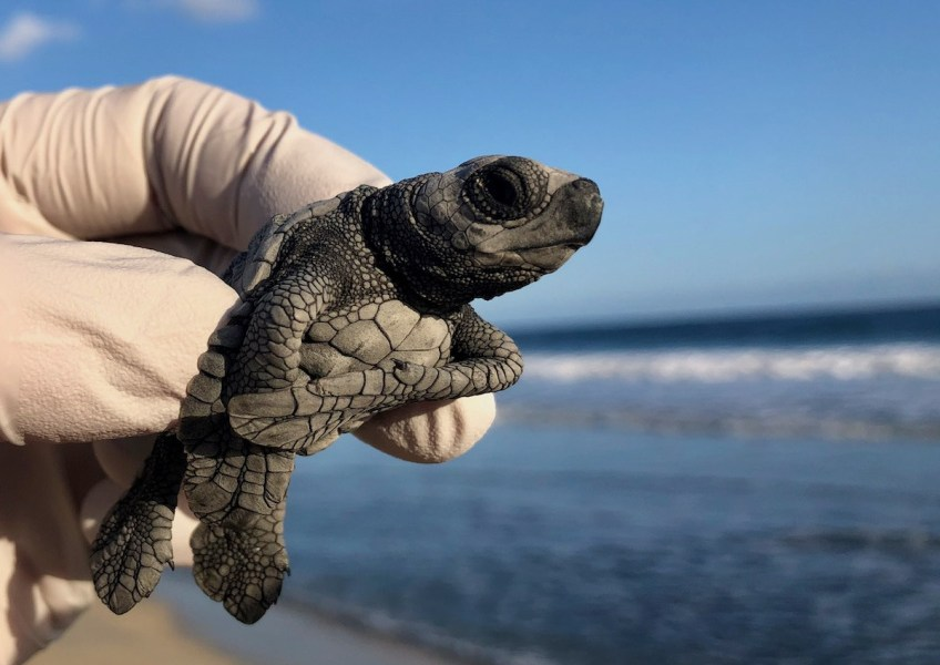 Baby Sea Turtle Release Cabo