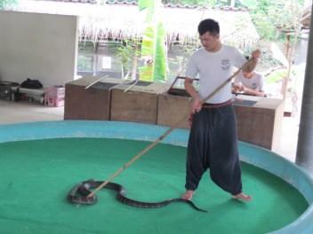 חוות הנחשים קינג קוברה ליד צ'יאנג מאי