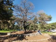 האלון הקשיש ביער בית קשת