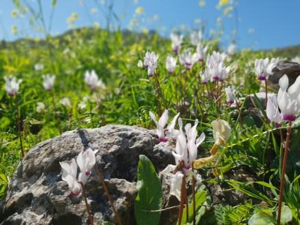 מרבדי רקפות בשמורת נחל משגב בגליל העליון