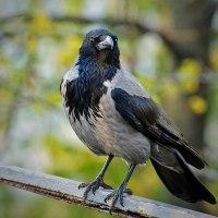 Rabenvögel-Monatsthema im September 2020