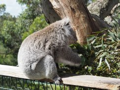 Koala Conservation Centre Phillip Island