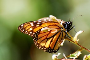 Monarch_butterfly_stanito_close_up3