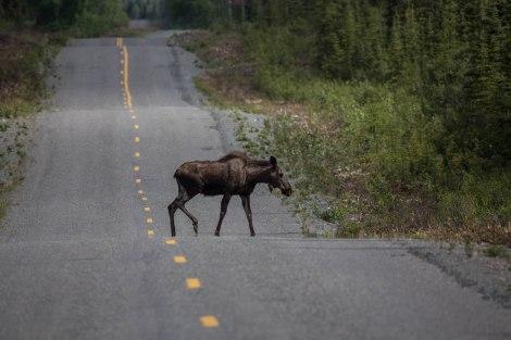 Moose4.jpg