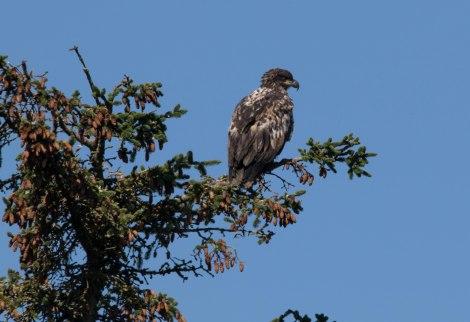 Eagle22.jpg