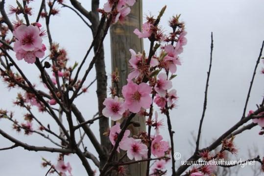 TWW - Cherry Blossom fest 2016