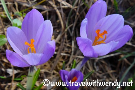 crocuses-in-spring