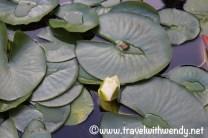 Lovely lilypads - l'Elephant