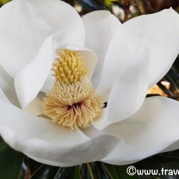 Sweet Magnolias - South Carolina
